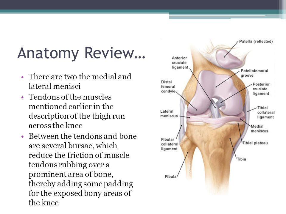 Anatomy Review… There are two the medial and lateral menisci