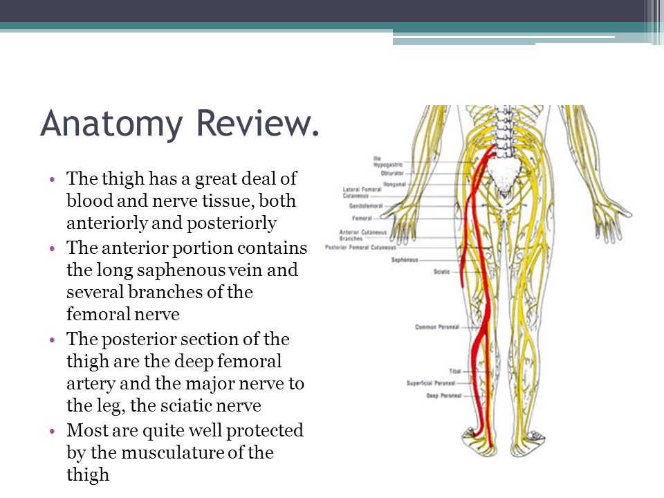 Anatomy Review… The thigh has a great deal of blood and nerve tissue, both anteriorly and posteriorly.