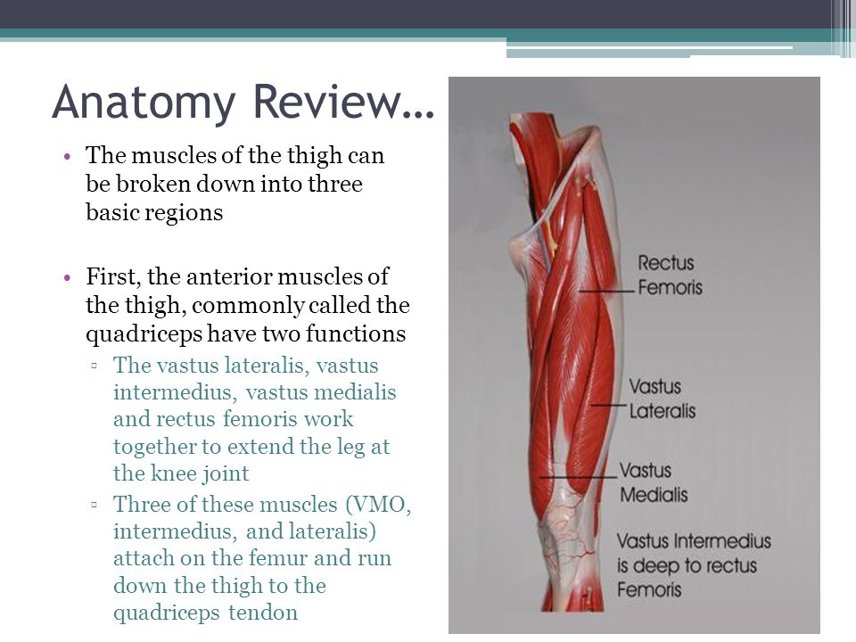 Anatomy Review… The muscles of the thigh can be broken down into three basic regions.
