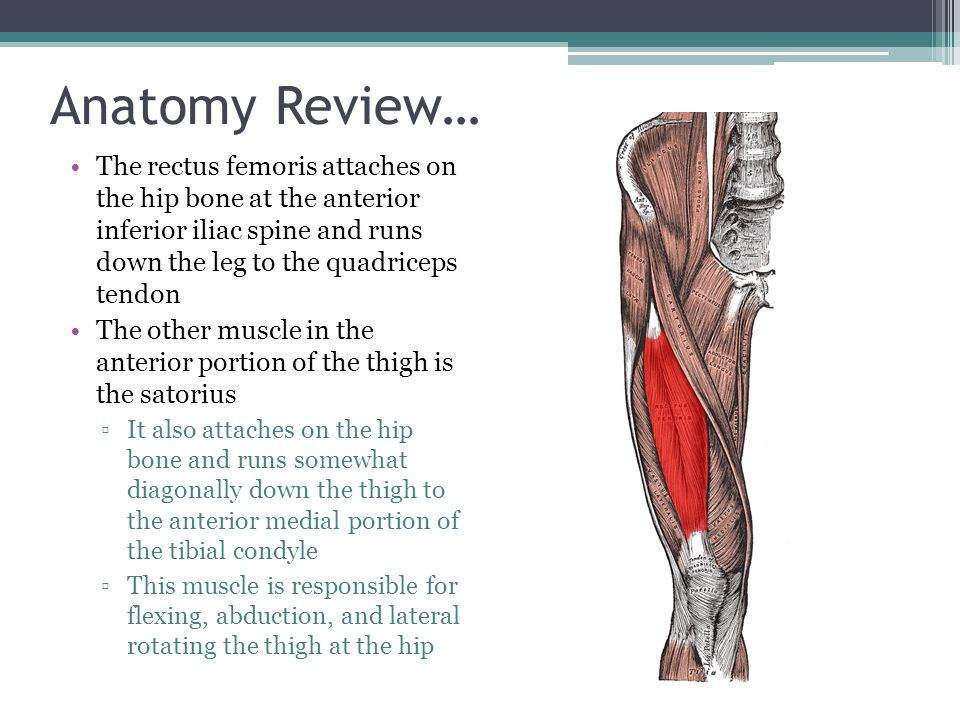 Anatomy Review… The rectus femoris attaches on the hip bone at the anterior inferior iliac spine and runs down the leg to the quadriceps tendon.