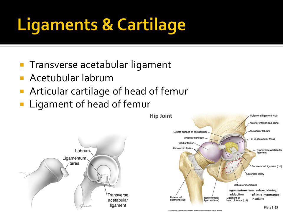 Ligaments & Cartilage Transverse acetabular ligament Acetubular labrum