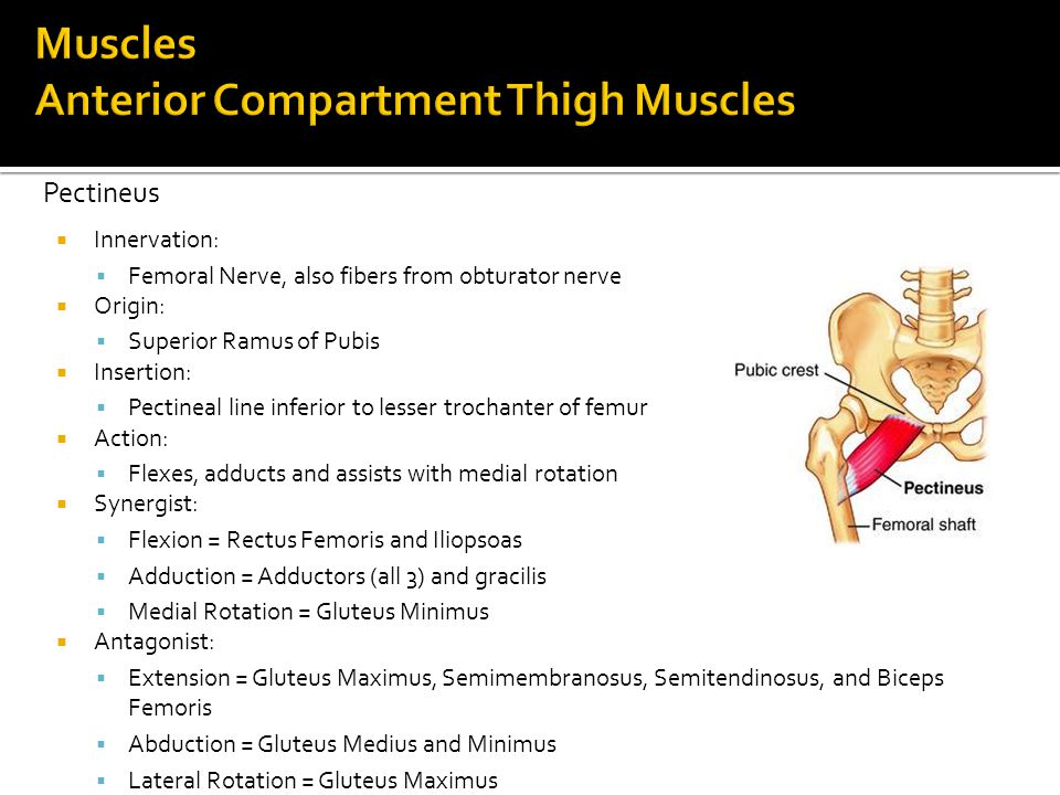 Muscles Anterior Compartment Thigh Muscles