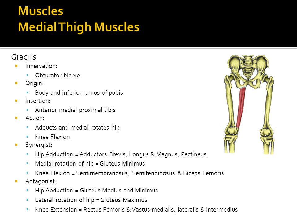 Muscles Medial Thigh Muscles