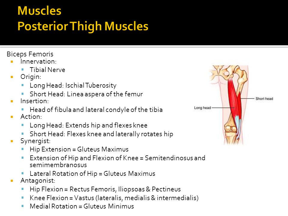 Muscles Posterior Thigh Muscles