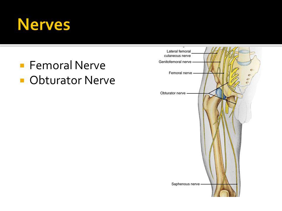 Nerves Femoral Nerve Obturator Nerve