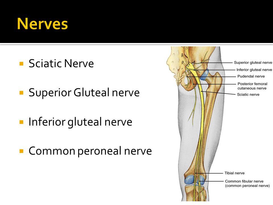 Nerves Sciatic Nerve Superior Gluteal nerve Inferior gluteal nerve