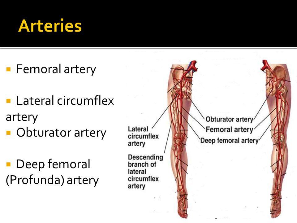 Arteries Femoral artery Lateral circumflex artery Obturator artery
