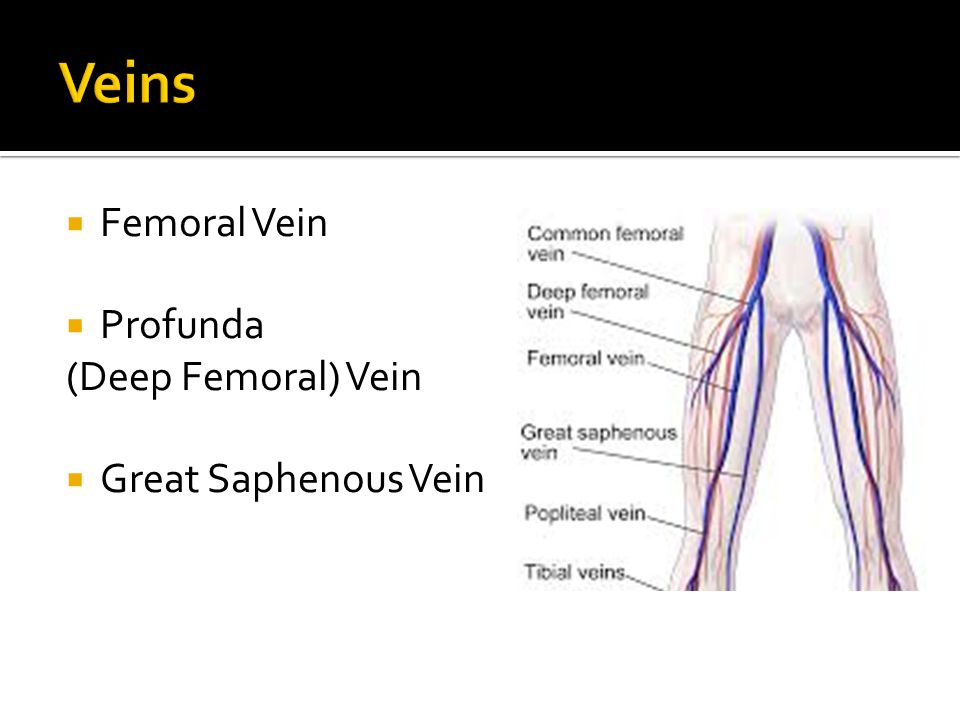 Veins Femoral Vein Profunda (Deep Femoral) Vein Great Saphenous Vein
