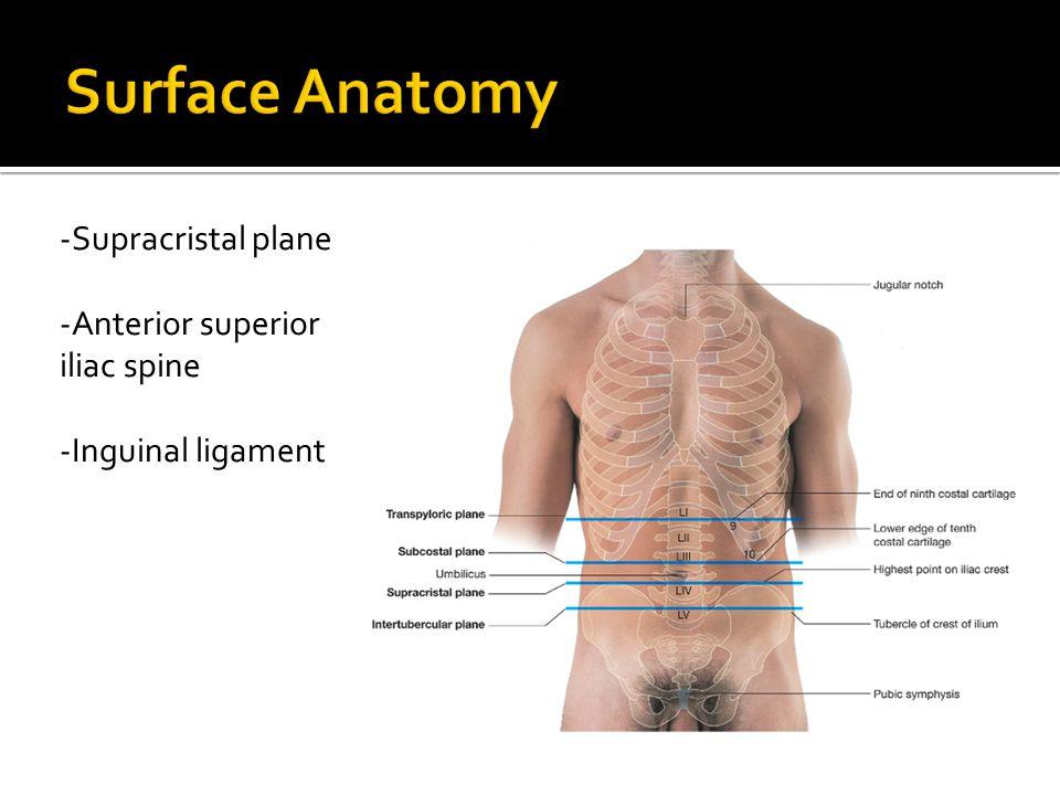 Surface Anatomy -Supracristal plane -Anterior superior iliac spine