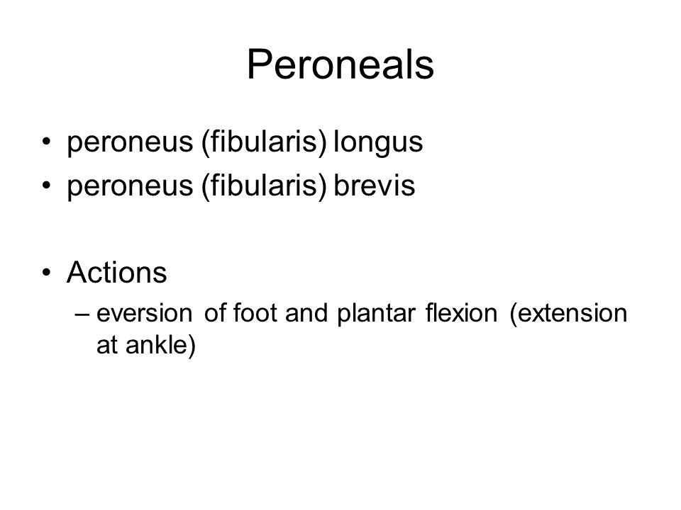 Peroneals peroneus (fibularis) longus peroneus (fibularis) brevis