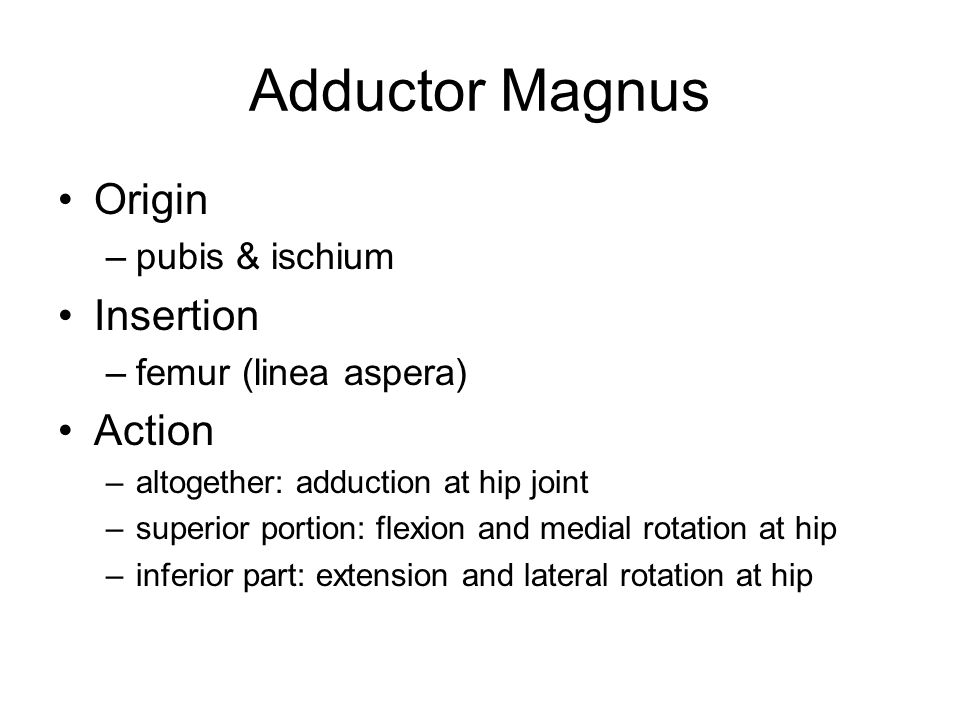 Adductor Magnus Origin Insertion Action pubis & ischium
