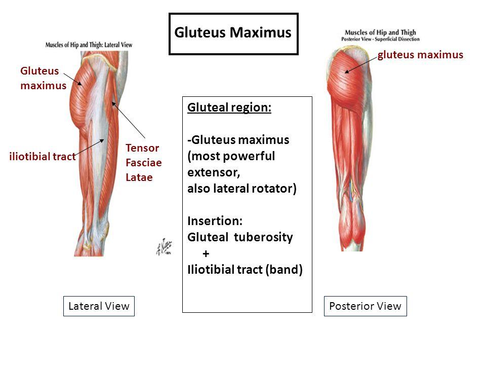 Gluteus Maximus Gluteal region: -Gluteus maximus