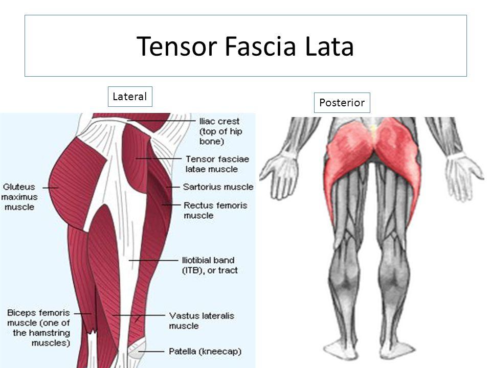 Tensor Fascia Lata Lateral Posterior