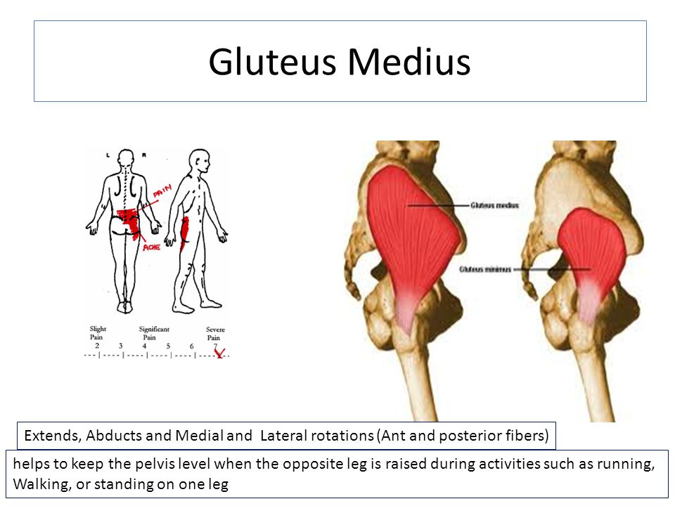 Gluteus Medius massagetoday.com. Extends, Abducts and Medial and Lateral rotations (Ant and posterior fibers)