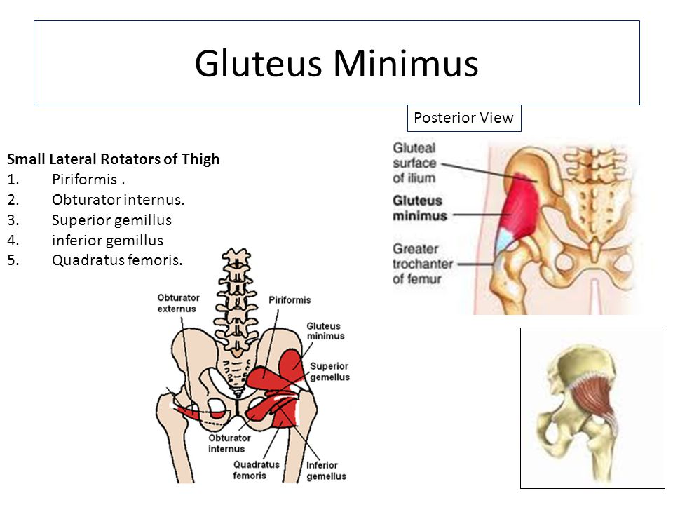 Gluteus Minimus Posterior View Small Lateral Rotators of Thigh