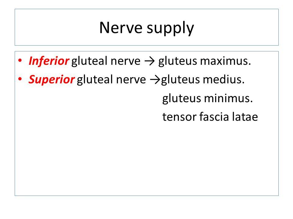 Nerve supply Inferior gluteal nerve → gluteus maximus.