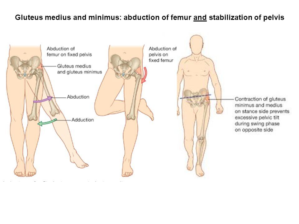 Gluteus medius and minimus: abduction of femur and stabilization of pelvis