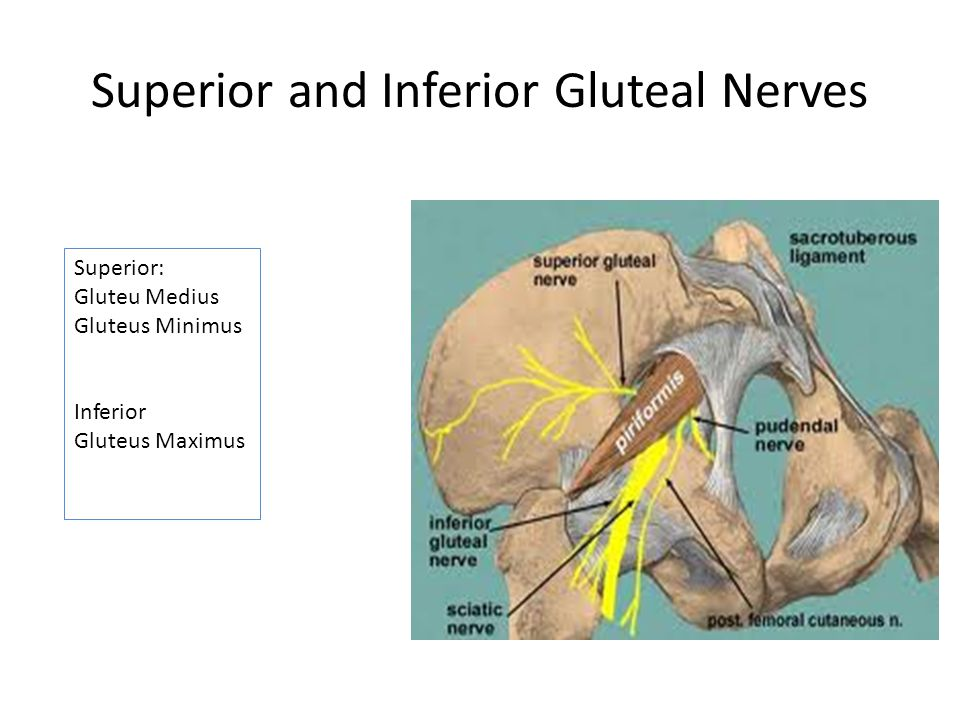 Superior and Inferior Gluteal Nerves