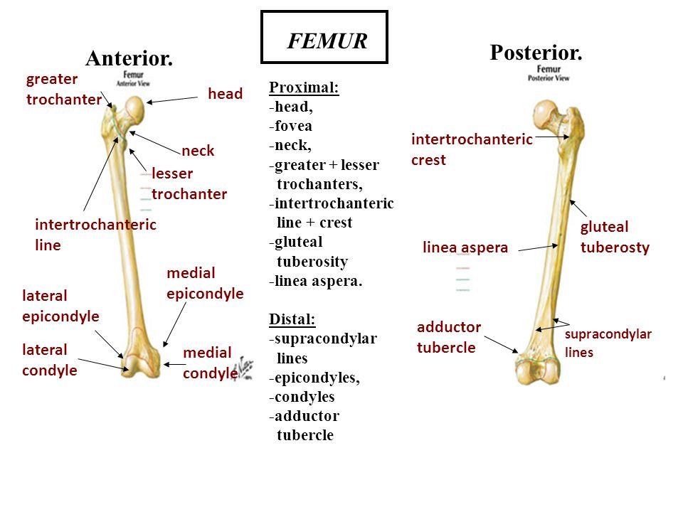 FEMUR Posterior. Anterior. greater trochanter head intertrochanteric