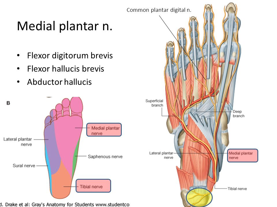 Common plantar digital n.