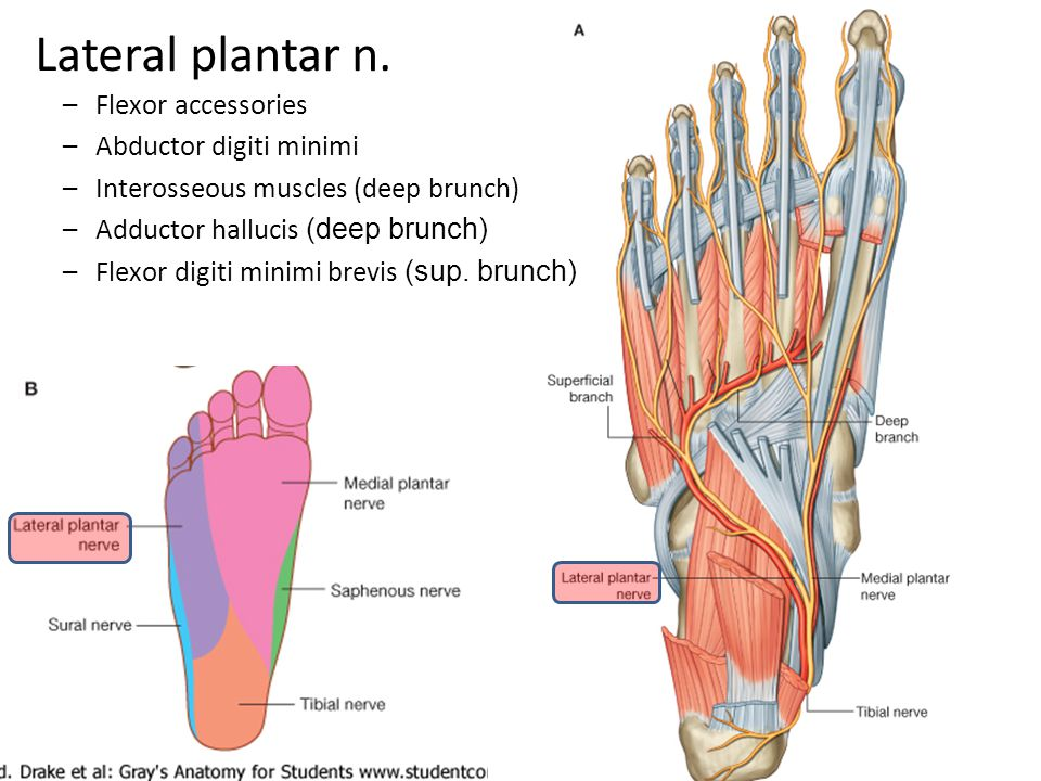 Lateral plantar n. Flexor accessories Abductor digiti minimi