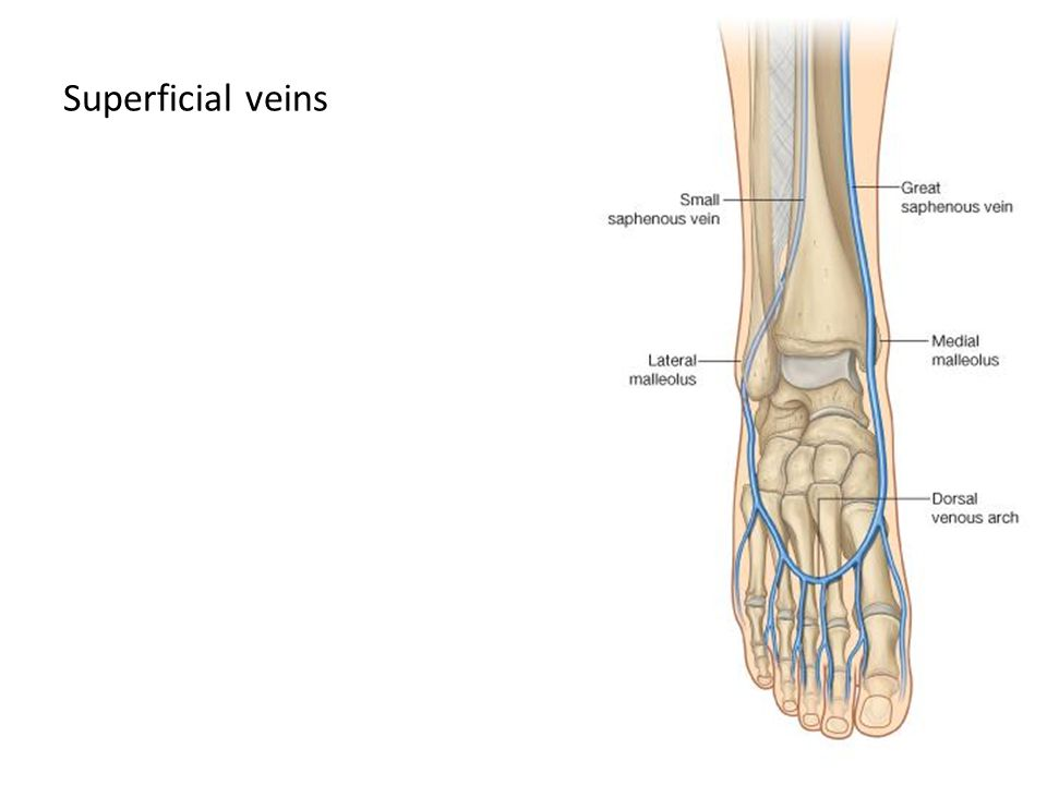 Superficial veins