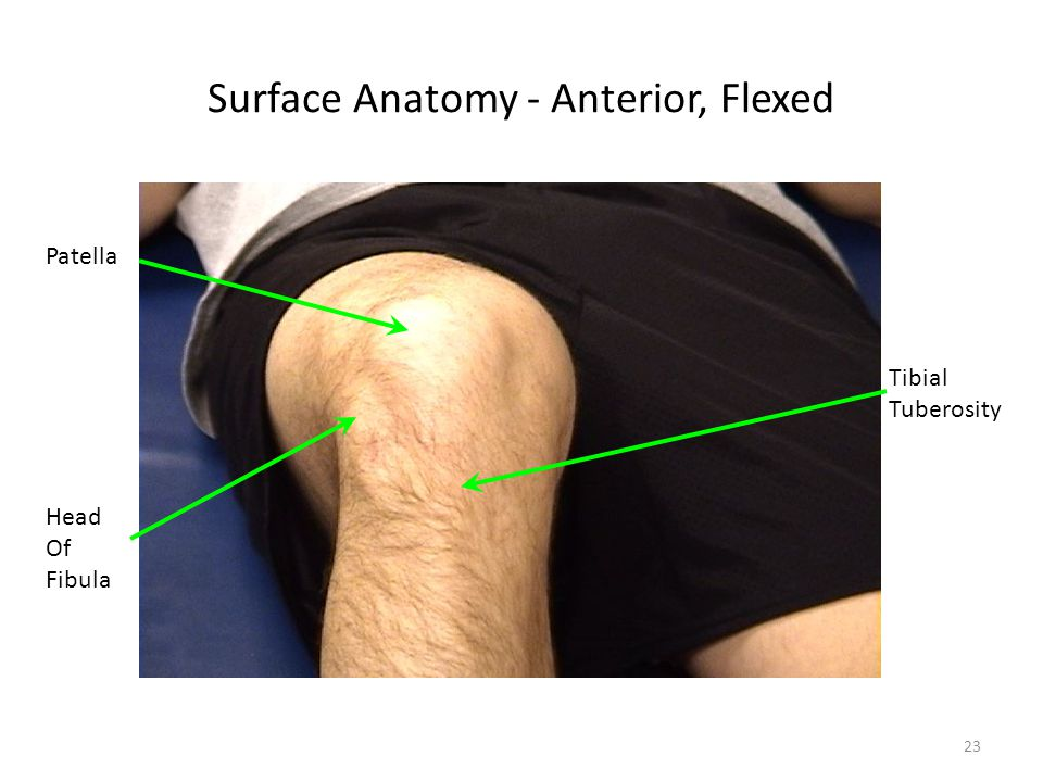 Surface Anatomy - Anterior, Flexed