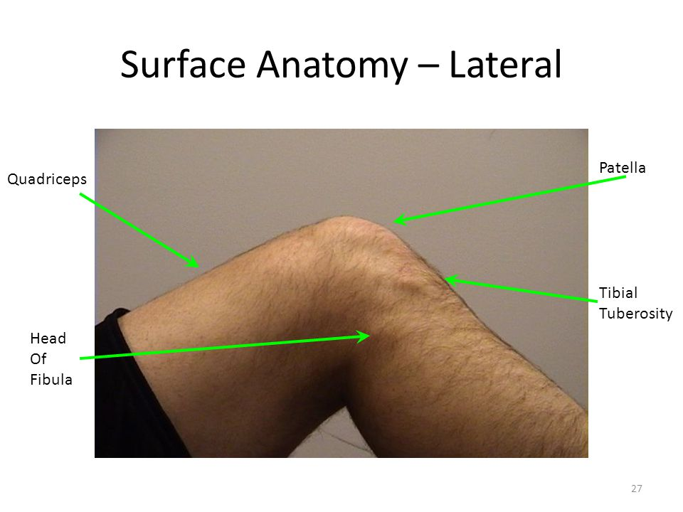 Surface Anatomy – Lateral