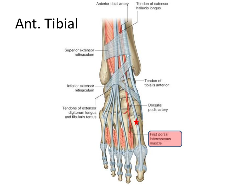 Ant. Tibial