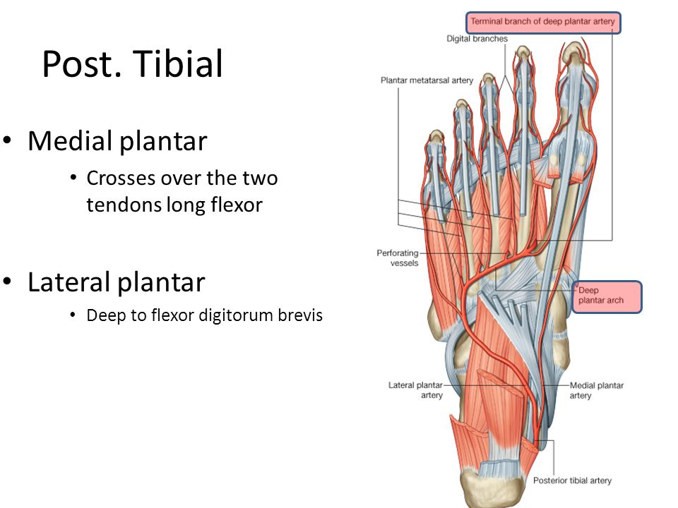 Post. Tibial Medial plantar Lateral plantar