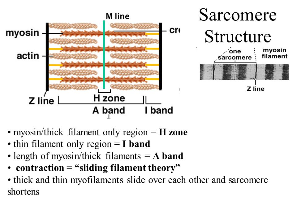 Sarcomere Structure myosin/thick filament only region = H zone