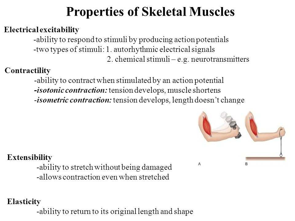 Properties of Skeletal Muscles
