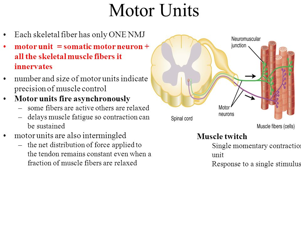 Motor Units Each skeletal fiber has only ONE NMJ