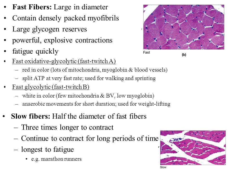 Fast Fibers: Large in diameter Contain densely packed myofibrils