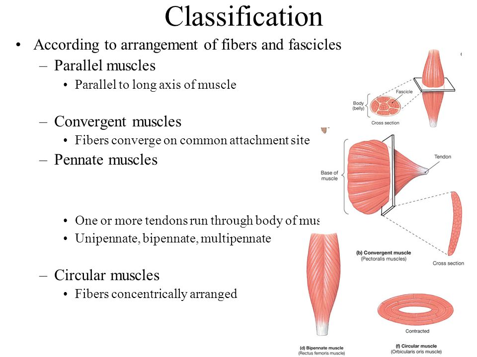 Classification According to arrangement of fibers and fascicles