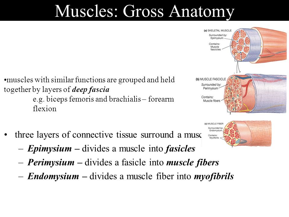 Gross anatomy of the skeletal muscles
