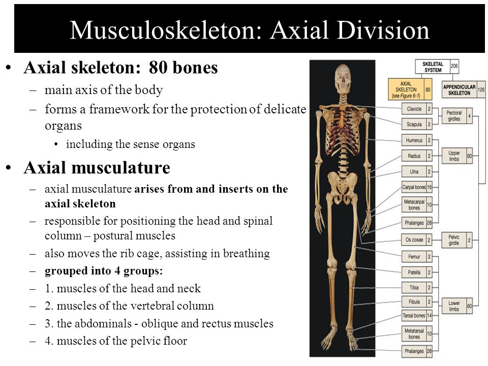 Musculoskeleton: Axial Division