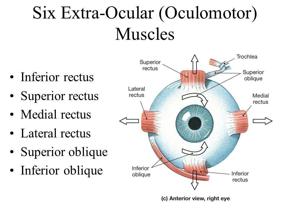 Six Extra-Ocular (Oculomotor) Muscles
