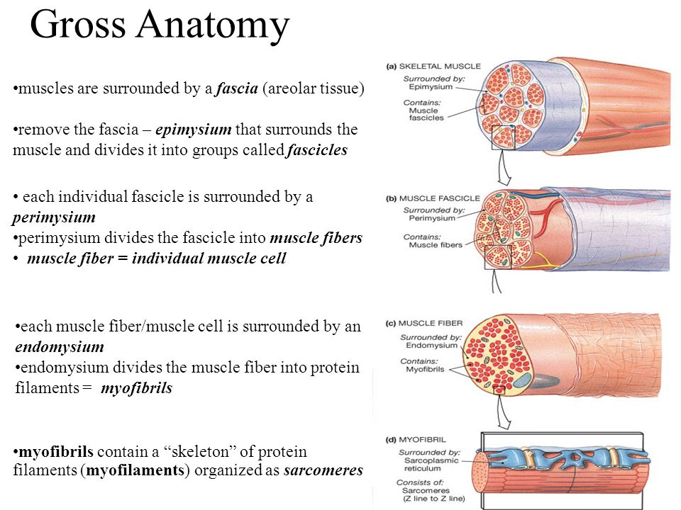 Gross Anatomy muscles are surrounded by a fascia (areolar tissue)