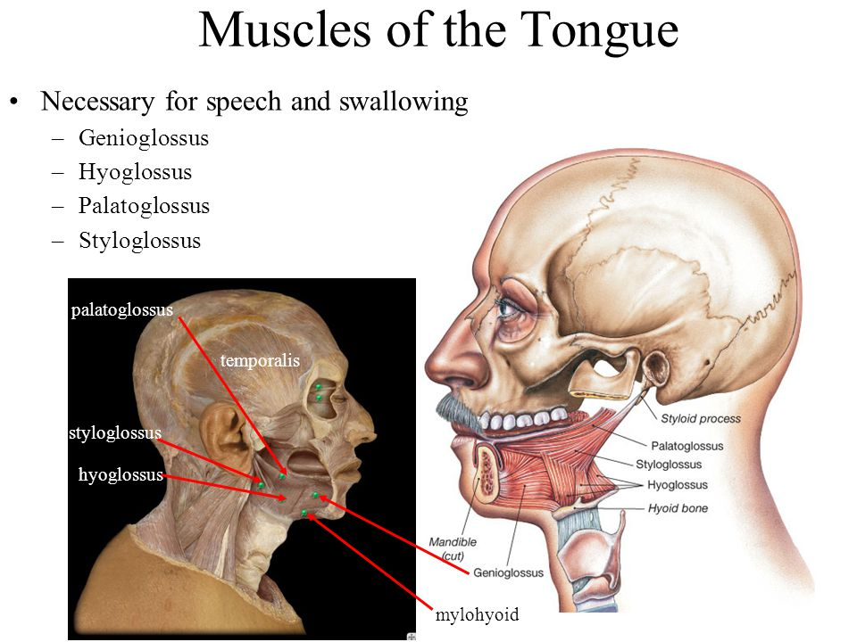 Muscles of the Tongue Necessary for speech and swallowing Genioglossus