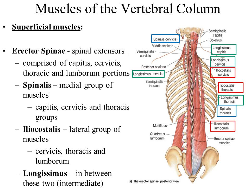 Muscles of the Vertebral Column