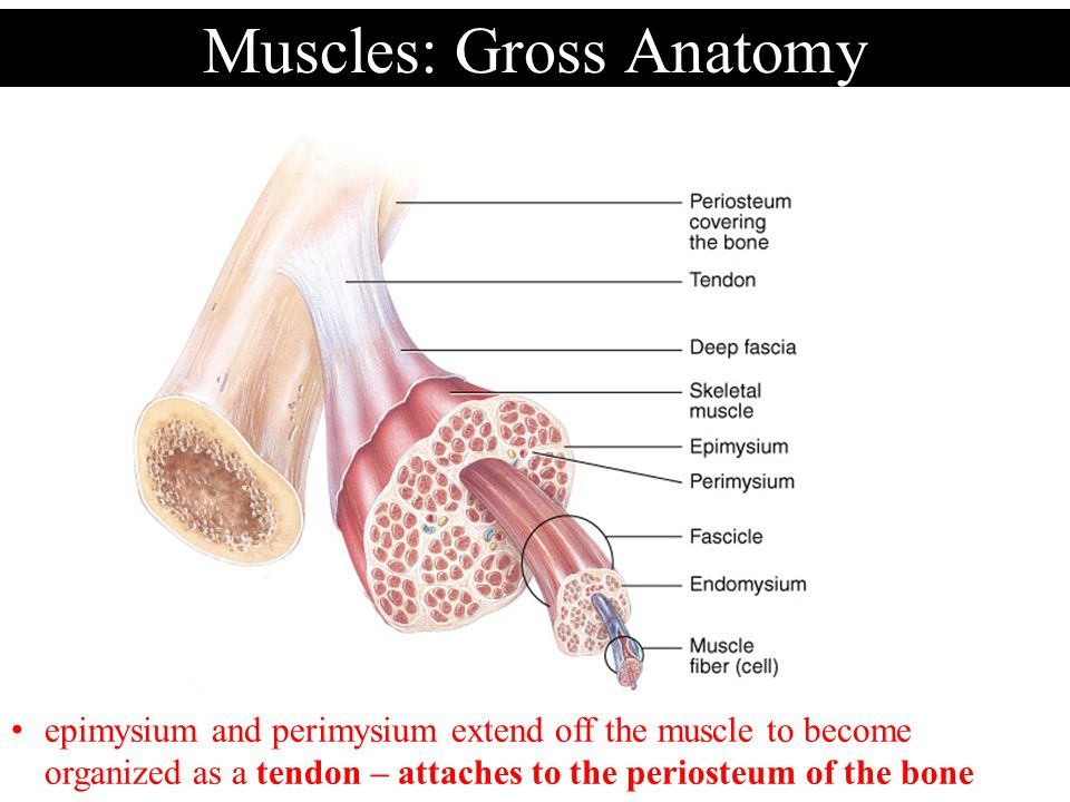 Muscles: Gross Anatomy