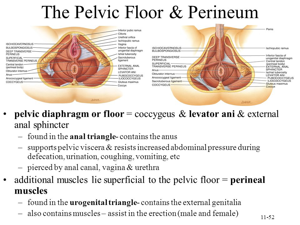 The Pelvic Floor & Perineum