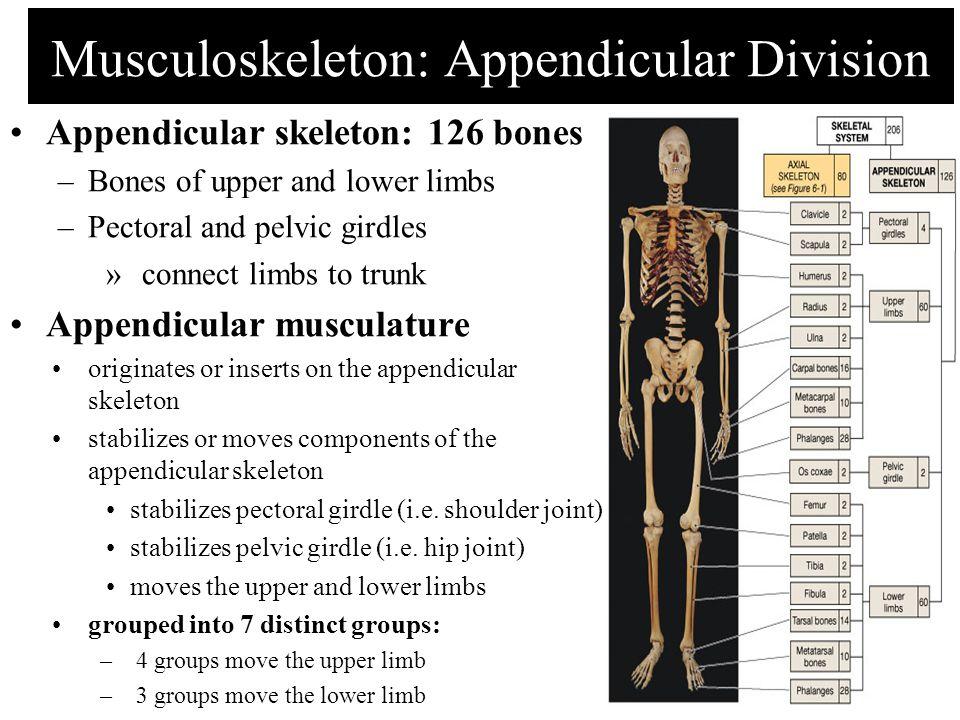 Musculoskeleton: Appendicular Division