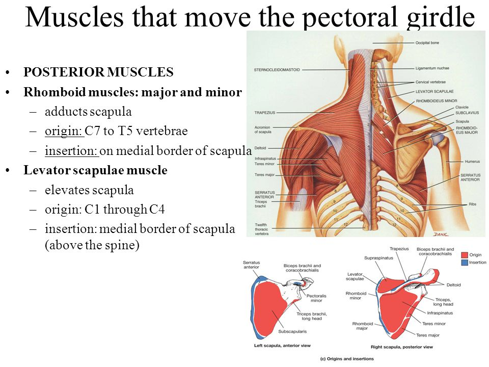 Muscles that move the pectoral girdle