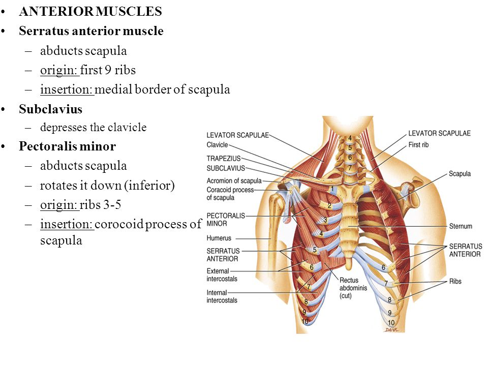 Serratus anterior muscle abducts scapula origin: first 9 ribs