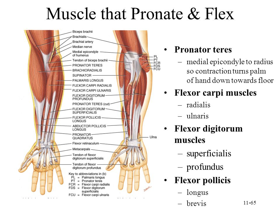 Muscle that Pronate & Flex