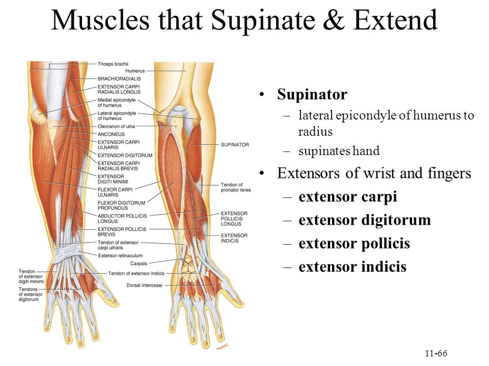 Muscles that Supinate & Extend