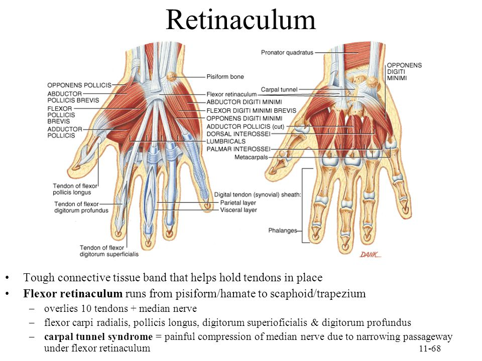 Retinaculum Tough connective tissue band that helps hold tendons in place. Flexor retinaculum runs from pisiform/hamate to scaphoid/trapezium.