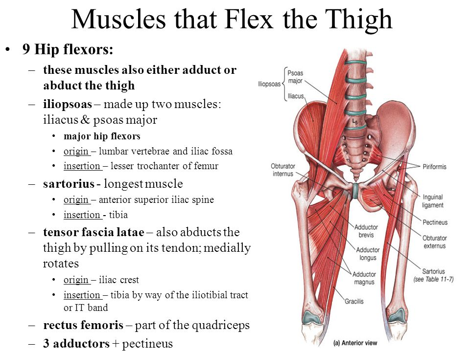 Muscles that Flex the Thigh